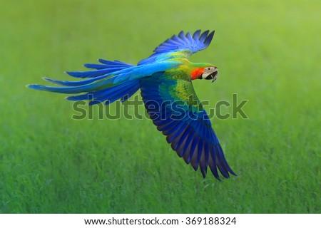 flying macaw, beautiful bird #369188324