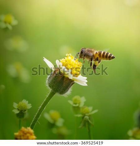 Flying Honey Bee Pollunating Flower - Beautiful Macro Photo Series #369525419