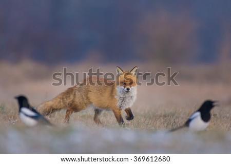 Fox/hunting