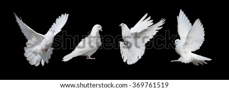 Four white doves  isolated on a black background #369761519