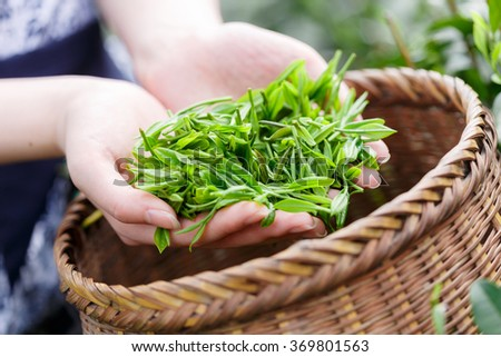 beautiful asian girl with traditional clothes picking tea #369801563