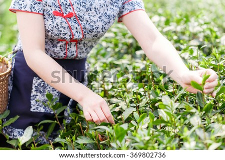 beautiful asian girl with traditional clothes picking tea #369802736