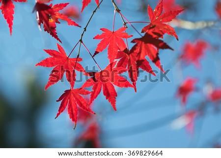 red maple leaf and blue sky, fall season #369829664