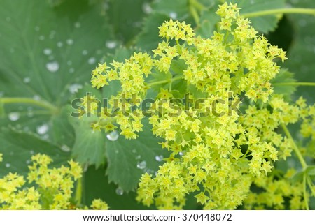 Closeup of Common a Mantle flowers ( Alchemilla mollis) with morning dews on leaves  #370448072