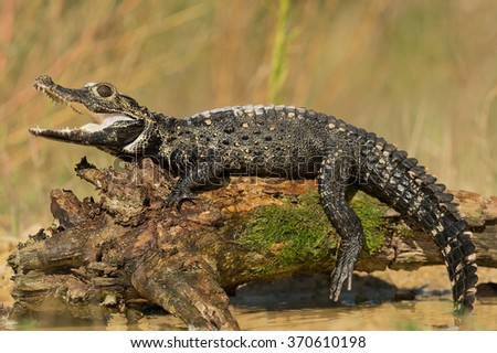 Dwarf crocodile on the mossy tree above water with clean background, Czech Republic #370610198