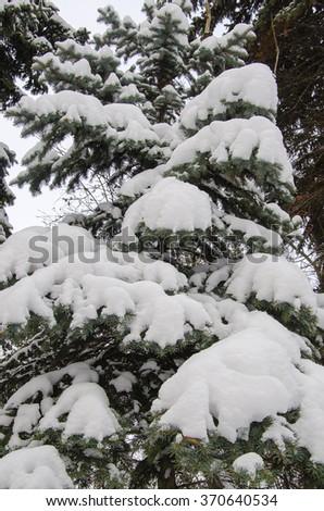 Fir branchs in snow #370640534