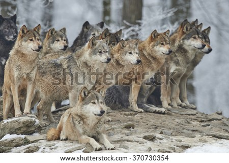 a pack of wolves in snow Royalty-Free Stock Photo #370730354