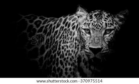 Leopard portrait #370975514