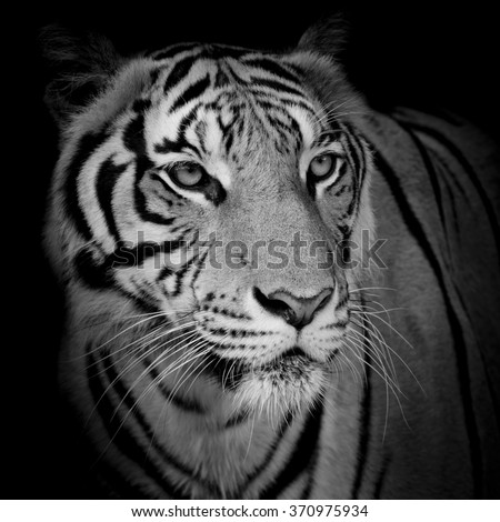 close up face tiger isolated on black background #370975934