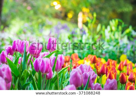 Colorful tulip garden in spring Royalty-Free Stock Photo #371088248