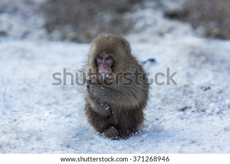 Japanese Snow Monkey in the wild #371268946