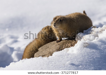Prairie Dogs in the winter #371277817