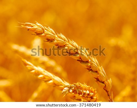 Field of wheat and sun #371480419