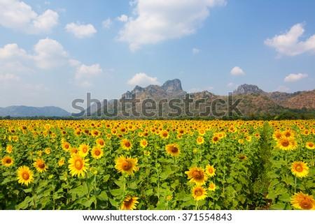 sun flowers field in Thailand. sunflowers #371554843