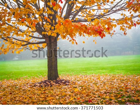 Colorful Autumn leaves on this Maple tree on a foggy early morning in Central New Jersey. #371771503