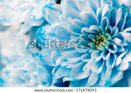 blue chrysanthemum flowers close up #371878093