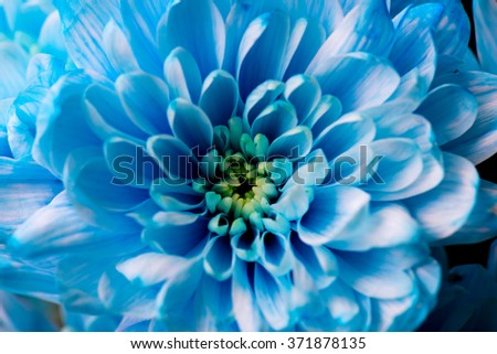 blue chrysanthemum flowers close up #371878135