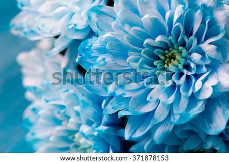 blue chrysanthemum flowers close up #371878153