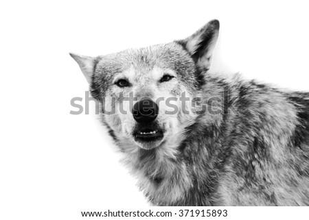 Wolf, Black and white wolf head shot . #371915893