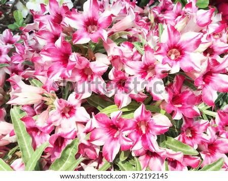 Pink and white azalea flower #372192145