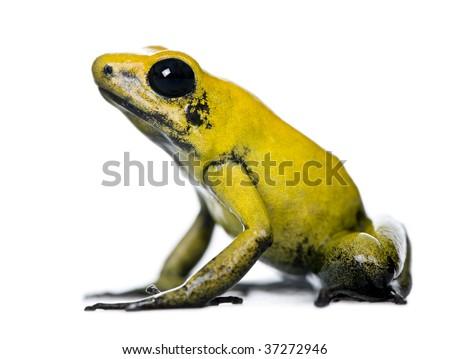 Side view of Golden Poison Frog, Phyllobates terribilis, against white background, studio shot #37272946