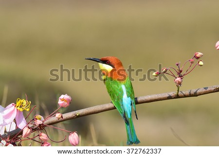 Beautiful Bee eater Bird (Chestnut-headed Bee-eater, Merops leschenaulti) catching insects to feed their young. #372762337