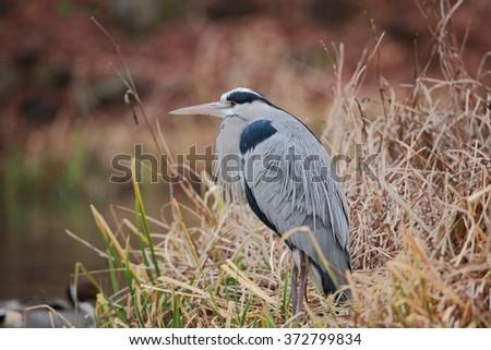 Grey Heron (Ardea cinerea) in Japan #372799834