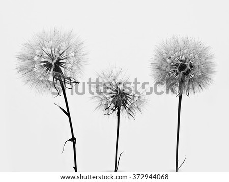 silhouette of three flowers dandelions