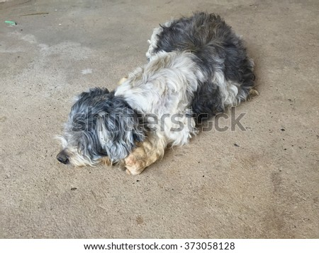 Oldest Shihtzu dog and dirty sitting on the floor #373058128