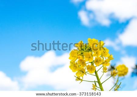 canola flower #373118143