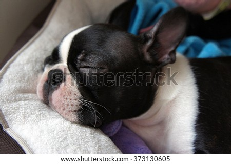 Puppy sleeping in his bed - Boston Terrier