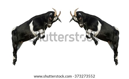 Two little dwarf goats fighting isolated on white #373273552