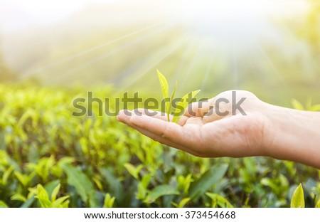 Green tea leaves in hand under the sun. Tea plantations, sri lanka #373454668
