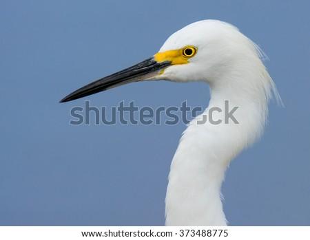 Snowy Egret Close-up Head Shot - Portrait #373488775
