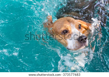 Young beagle dog swimming in the pool #373577683
