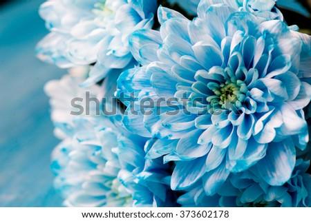 blue chrysanthemum flowers close up #373602178