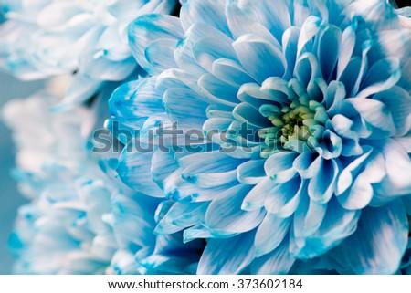 blue chrysanthemum flowers close up #373602184