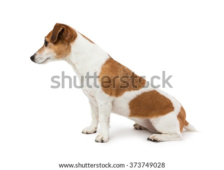 Cute Dog  Jack Russell terrier sitting sideways in profile looking to the side. Perfect representative of the breed proportions. White background #373749028
