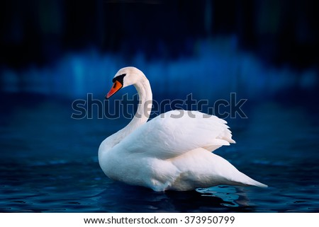 White swan in the lake with blue dark background on the sunset.  #373950799
