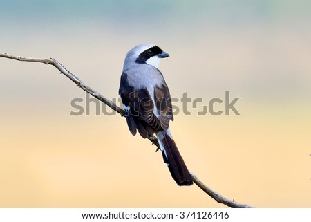 Grey-backed Fiscal on a branch in Africa #374126446
