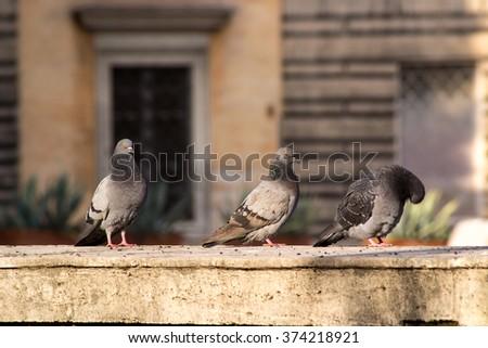 pigeons #374218921