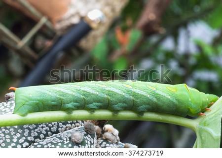 Close up green caterpillar eating green leaf #374273719
