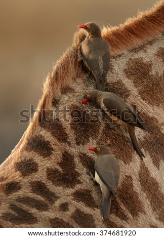 Close up vertical photo of three Red-billed oxpeckers, Buphagus erythrorhynchus, ticks eating african birds on neck of giraffe, feeding on parasites.  #374681920