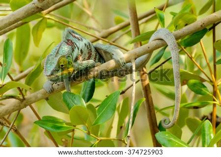 Furcifer pardalis: A Panther Chameleon resting #374725903