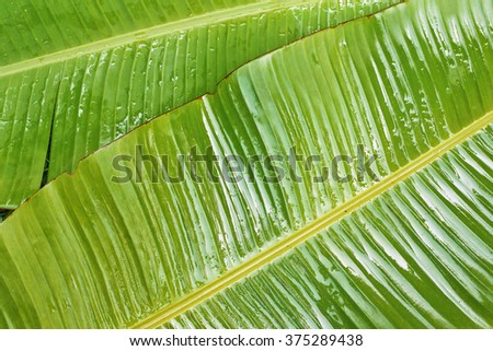 Green banana leaves background. top view #375289438