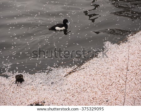 Lonely duck in the river with Sakura Clover #375329095