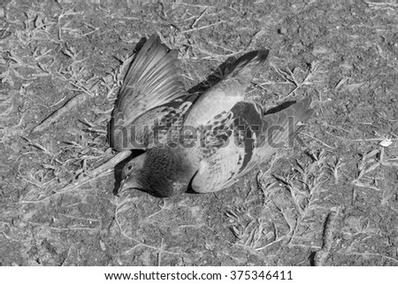 Close up of pigeon dead by poison on the ground b/w filter #375346411