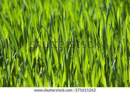 Agricultural field on which grow unripe green grass in spring season #375615262