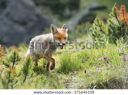 Red fox walking in grass and mountain pine, Slovakia, Europe