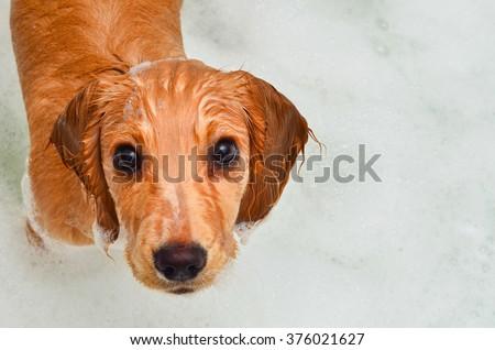 Cocker spaniel puppy taking a bath in bubbles #376021627